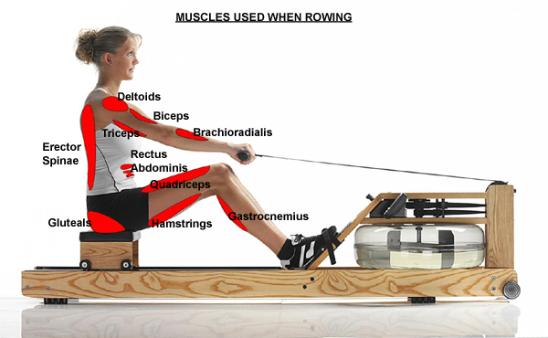 muscle_used_when_rowing